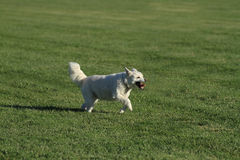 White dog running in the grass Royalty Free Stock Photography