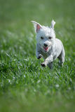 White dog running Royalty Free Stock Photo