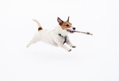 White dog running and jumping on snow carrying wood stick Stock Photo
