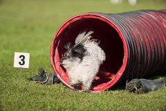 White dog running out of the red tunnel on outdoors agility competition Royalty Free Stock Photo