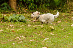 White Dog Running. White Poodle dog running on a green field Stock Photo
