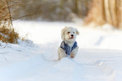White dog running in snow in winter Royalty Free Stock Image