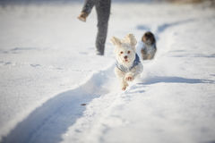 White dog running in snow in winter Royalty Free Stock Photography