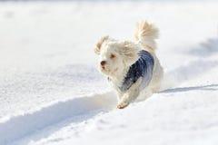 White dog running in snow in winter Stock Photo