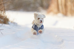 White dog running in snow in winter Stock Images