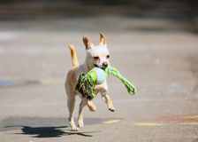 The white dog running with toy in his mouth. Active dog. Stock Photography