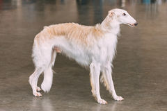 White Dog Russian Borzoi Wolfhound On Floor. Indoors Royalty Free Stock Photography