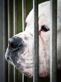 White  dog's face between grids. A sad american bulldog behind the grids Stock Photography