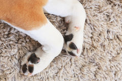 White dog`s paws from above. Two dog paws on fluffy carpet background stock photo