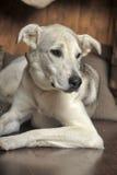 White dog is sad Stock Photo
