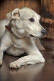 White dog is sad Royalty Free Stock Photos