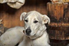 White dog is sad Royalty Free Stock Images