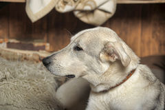 White dog is sad Royalty Free Stock Photography