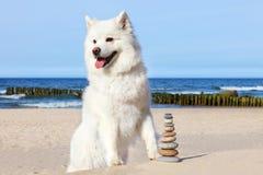 Free White Dog Samoyed And Rocks Zen On The Beach. Royalty Free Stock Photo - 107637125