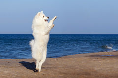 White dog Samoyed dancing on the beach by the sea. Stock Image