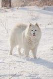 White dog Samoyed play on snow Stock Images