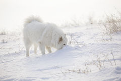 White dog Samoyed play on snow Stock Image