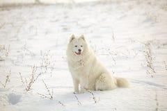 White dog Samoyed play on snow Royalty Free Stock Photo