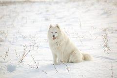 White dog Samoyed play on snow Stock Photos
