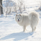 White dog Samoyed play on snow Royalty Free Stock Photography