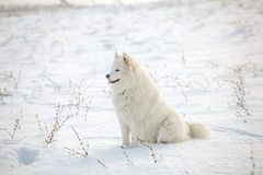White dog Samoyed play on snow Royalty Free Stock Images