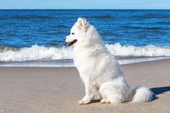 White dog Samoyed sitting on the sand on the sea background.  Royalty Free Stock Photos