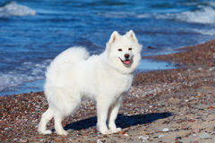 White dog Samoyed stands near the sea on a Sunny day Royalty Free Stock Photo
