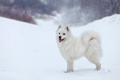 White dog Samoyed walks in the woods in winter. Royalty Free Stock Photography