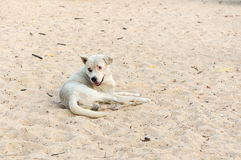 White dog on the sand courts and poor eyesight Royalty Free Stock Photo