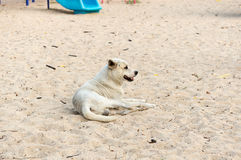 White dog on the sand courts and poor eyesight Stock Image