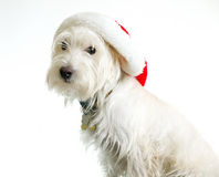 White Dog in Santa Hat royalty free stock image