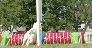 A white dog showing his agility on a dog show 4K FS700 Odyssey 7Q. A white dog showing his agility on a dog show crossing over the obstacles 4K FS700 Odyssey 7Q stock video