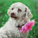 White dog sits on the grass. White dog with flower on the neck sits on the grass royalty free stock images