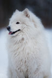 White dog sits and stares into the distance Royalty Free Stock Image