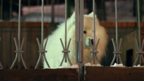 White dog sitting behind a fence stock video footage