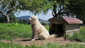 White dog sitting on chain. In the yard and securing courtyard. Guard dog pick up its ears near doghouse stock video