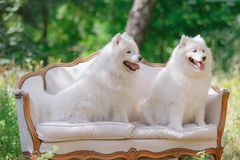 White dog sitting on the couches in the garden. Looking away Stock Photography