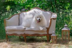 White dog sitting on the couches in the garden. Looking away Stock Images