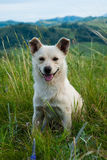 White dog sitting in the grass on the hillside. White cheerfu dog sitting in the grass on the hillside of Altai Mountains Stock Photos