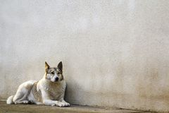 White dog sitting near old house wall.  Stock Photography