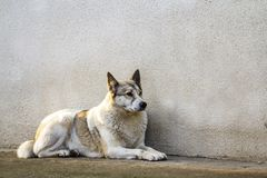 White dog sitting near old house wall.  Stock Photos