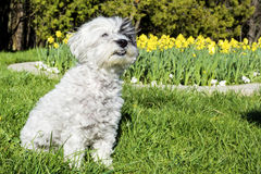 White dog sitting in a spring garden Royalty Free Stock Photography