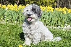 White dog sitting in a spring garden. Adorable white dog sitting in a spring garden with yellow narcissus stock photos