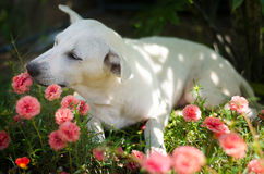 White dog sitting in sun plant field. Cute happy white dog sitting and smelling sun plant in old rose sun plant field Stock Image