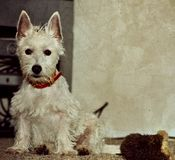 White dog sitting beside toy. A white west highland terrier dog sitting beside an old play toy. This image has a texture applied stock images
