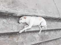 White dog sleep On Staircase royalty free stock image