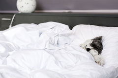 White dog sleeping in big human bed Stock Image