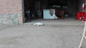 White dog sleeping at farm. In front of a garage royalty free stock images
