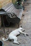 Dog sleeping on floor. White dog sleeping on gravel floor Stock Photography