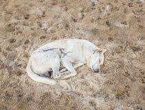 White dog sleeping on the sand Stock Photos